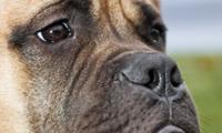 Igor, a bull mastiff