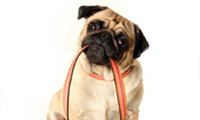 pug dog holding a leash