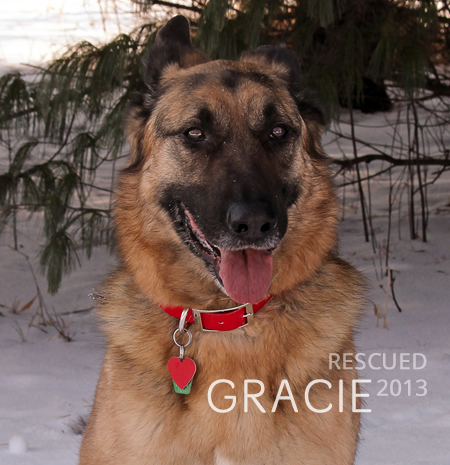 German Shepherd Gracie rescued November 2013