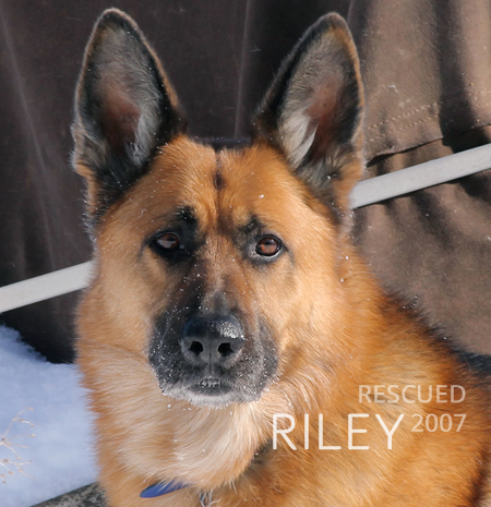 German Shepherd Riley rescued January 2007
