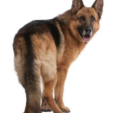 photo of a German Shepherd's rear hips