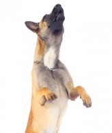 post_belgian_malinois_jumping