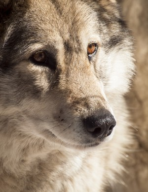 How is sending dogs into hunt wolves different than sanctioned dog fighting?