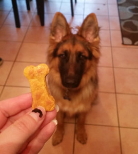 Chelsy's German Shepherd Titan waiting for his pumpkin treat