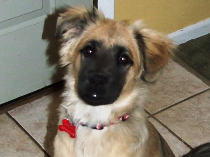 Chow-Shepherd mix puppy named Dexter