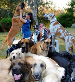 Gentle Giants - dog rescue and adoptions for giant breed dogs