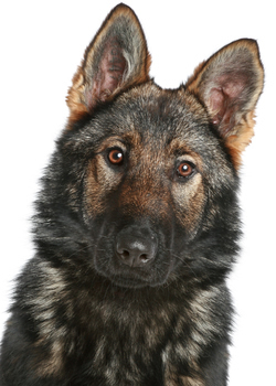 Sable German Shepherd - You Might be a Dog Lover IF