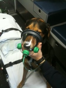 photo of Harley wearing an oxygen mask