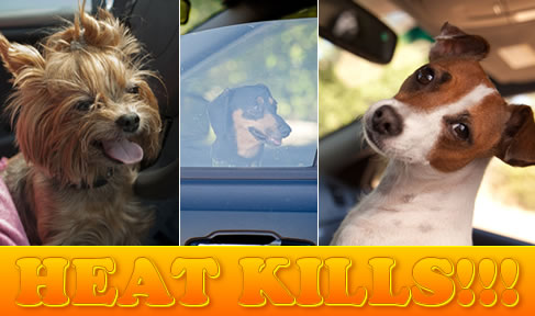 summer heat can kill a dog in a car